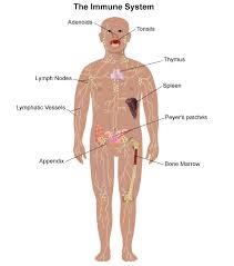 immune-system-2