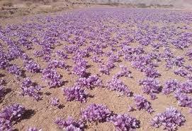 saffronfield
